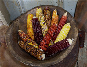 Dried Indian Corn Set/6