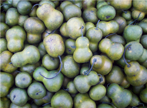 Olive Pear Gourds 700ct - CC101