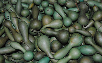 Spring Green Bottle Neck Gourd