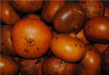 Pumpkin Gourd  - Asst Sizes
